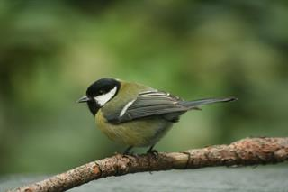 Parus major Linnaeus, 1758